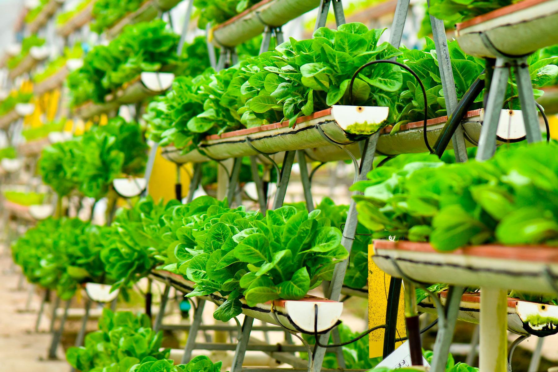 Crops in vertical urban farm