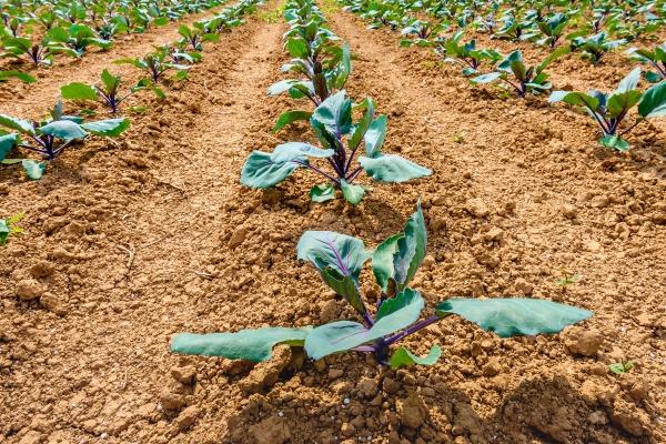 Crops in soil