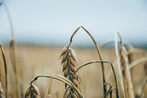 Wheat in field close up