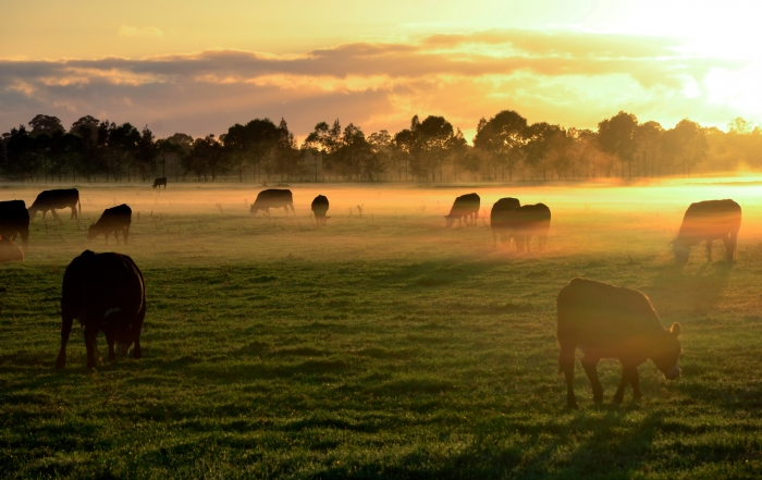 Cows in misty field at morning